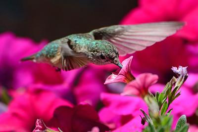 Broad-tailed Hummingbird female (5)