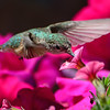 Broad-tailed Hummingbird female (5)