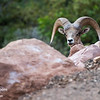 A bighorn sheep peers over a rock.  Zion National Park, Utah.