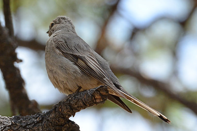 Townsend's Solitaire (2)
