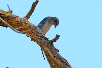 Western Scrub Jay (2)