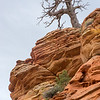 A scraggly tree above red rock.  Zion National Park, Utah.