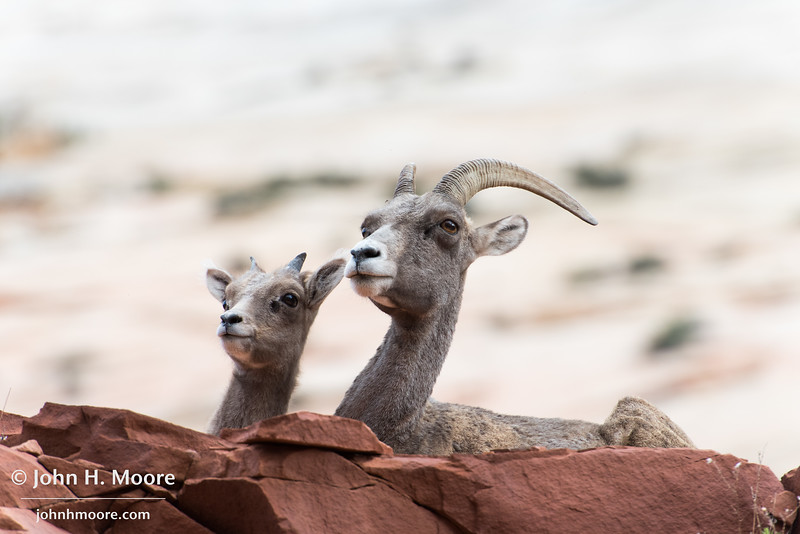 A bighorn sheep momma and baby in Zion National Park, Utah.