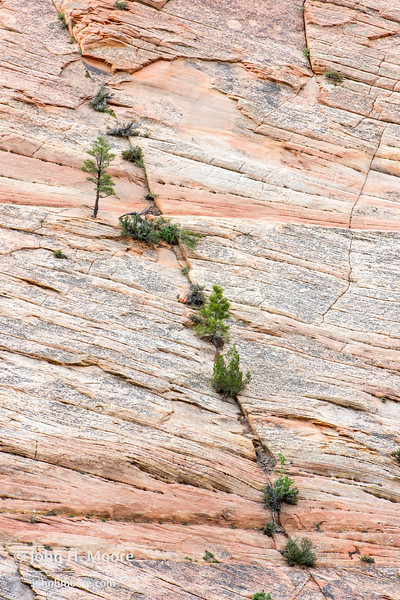 Trees line a crack in the granite in Zion National Park, Utah.