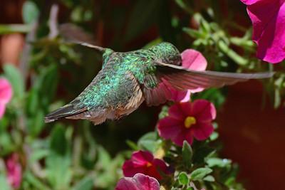 Broad-tailed Hummingbird female (1)