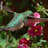 Broad-tailed Hummingbird female (1)