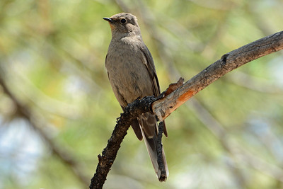 Townsend's Solitaire (3)