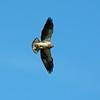 Swainson's Hawk (4)
