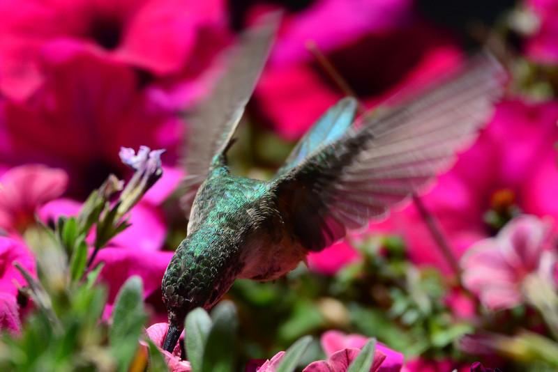 Broad-tailed Hummingbird female (4)