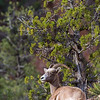 A bighorn sheep in Zion National Park, Utah.