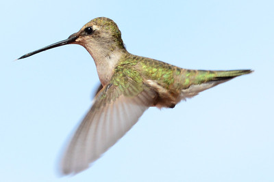 Black-chinned Hummingbird (2)