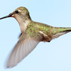 Black-chinned Hummingbird (2)