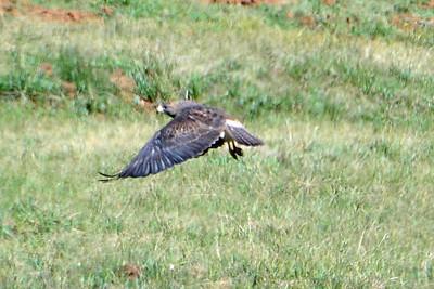 Swainson's Hawk (2)