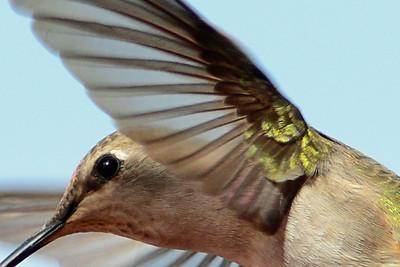 Black-chinned Hummingbird (1)