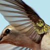Black-chinned Hummingbird (1)