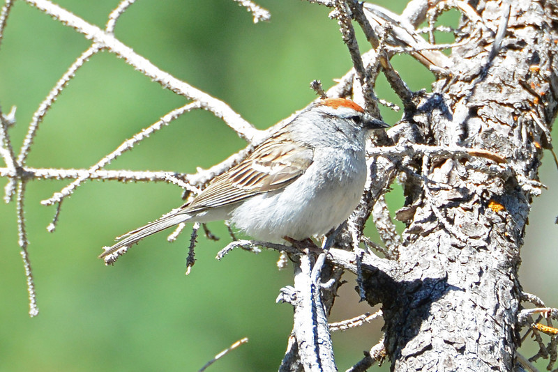 Chipping Sparrow (2)
