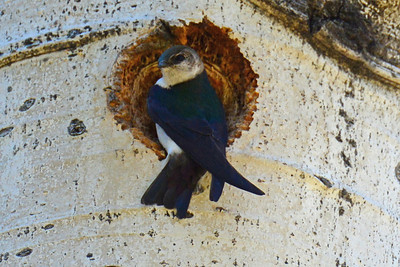 Violet-Green Swallow (2)