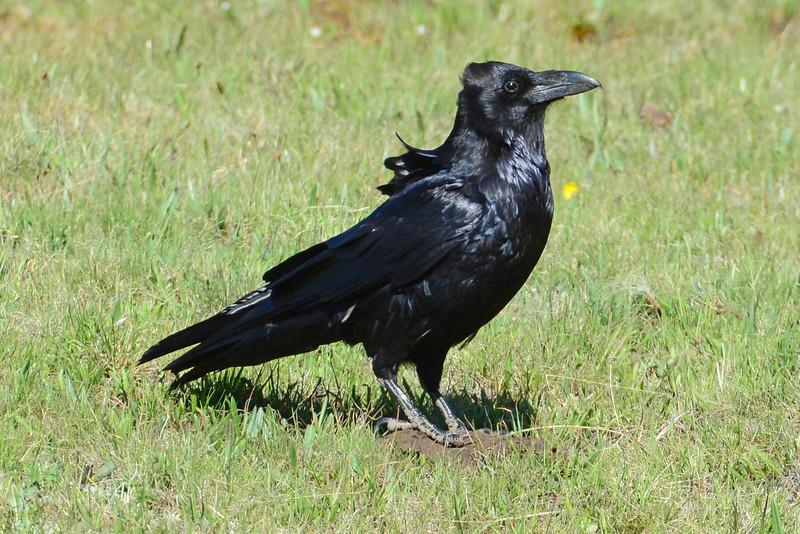 Common Raven (2)