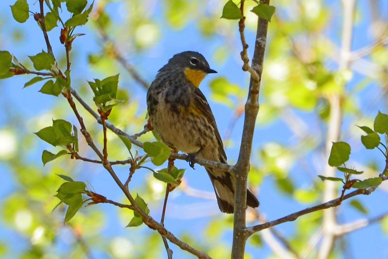 Yellow-rumped Warbler (3)