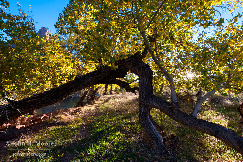 A path along the Virgin River goes under a fallen tree in Zion National Park, Utah, with the Watchman in the background and fall colors in the trees.
