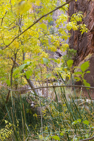 Male deer in the trees along the Virgin River Narrows in Zion National Park.  Utah, USA