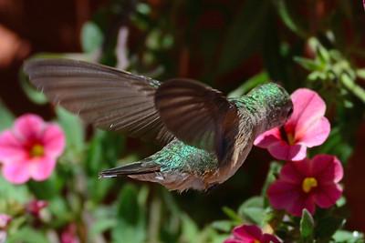 Broad-tailed Hummingbird female (2)
