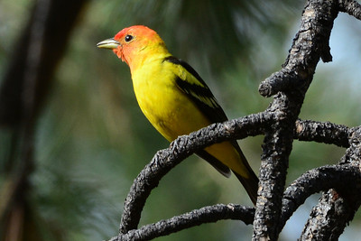 Western Tanager (2)