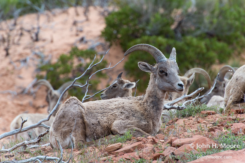 Bighorn sheep in Zion National Park, Utah.