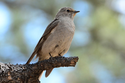 Townsend's Solitaire (1)