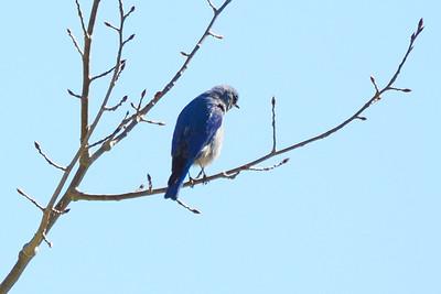 Mountain Bluebird (2)