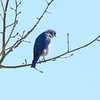 Mountain Bluebird (2)