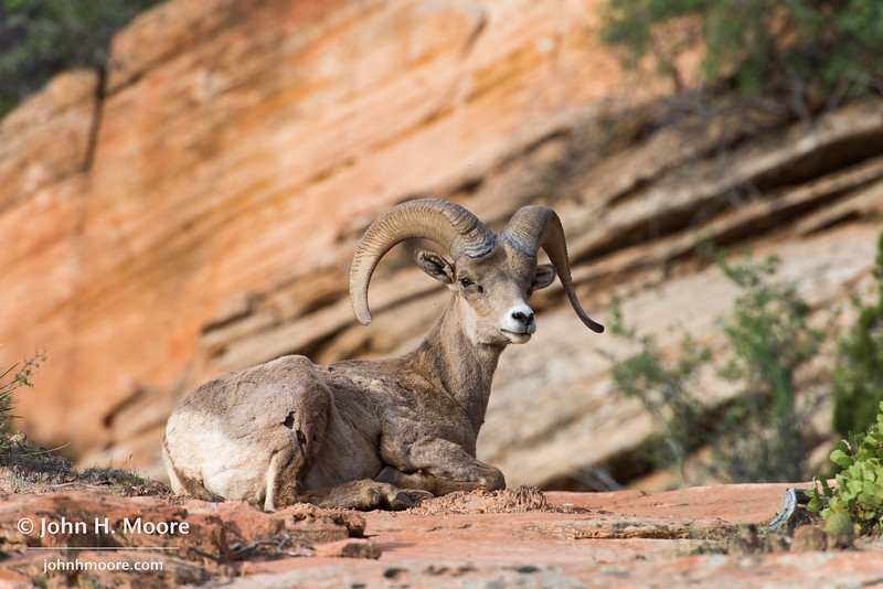 A bighorn sheep in Zion National Park, Utah.