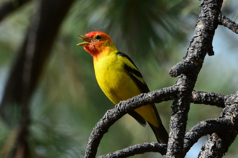 Western Tanager (3)