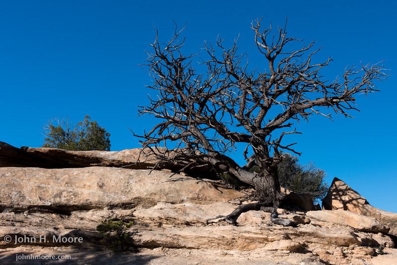 A scraggly tree.  Natural Bridges National Monument, Utah.