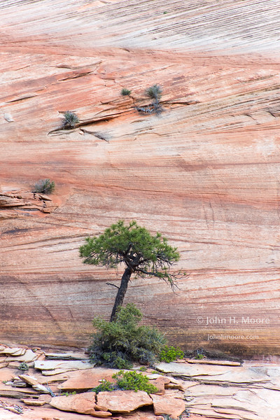 A lone tree in front of a granite wall in Zion National Park, Utah.