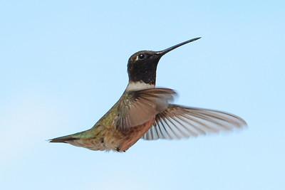 Black-chinned Hummingbird (3)