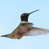 Black-chinned Hummingbird (3)