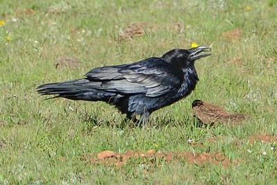 Common Raven (1)