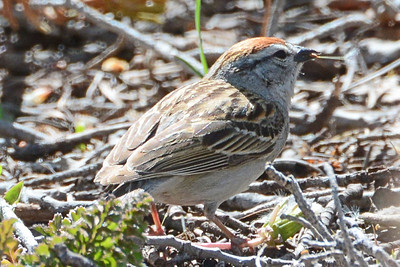 Chipping Sparrow (3)