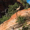 Bighorn Sheep in Zion National Park.  Utah, USA