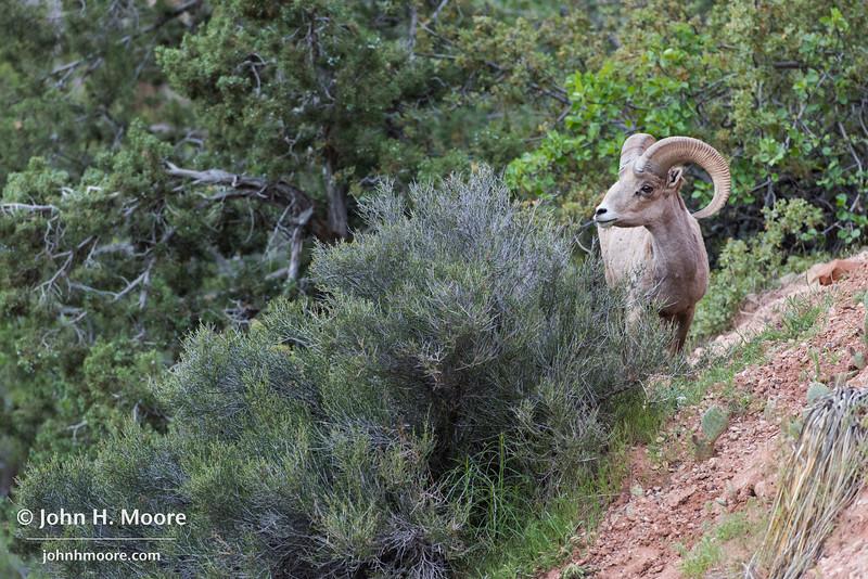 A bighorn sheep chews on a bush in Zion National Park, Utah.