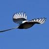 Skata lyfter sina vingar