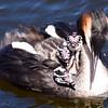 Skäggdopping - Great crested grebe