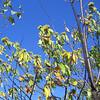 Blackrock Chestnuts (Castanea dentata)