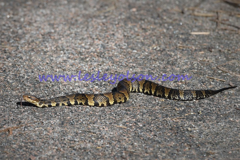 Cottonmouth aka water moccasin - roaming across the trail we were on in VA!