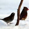 Female Northern Cardinal, VCP, Feb 7, 2011