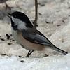 Black Capped Chickadee, VCP, Feb 7, 2011