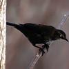 Rusty Blackbird, VCP, Feb 7, 2011