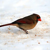 Female Northern Cardinal, Feb 7, 2011