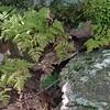 Appalachian Oak Fern (Gymnocarpium appalachianum)